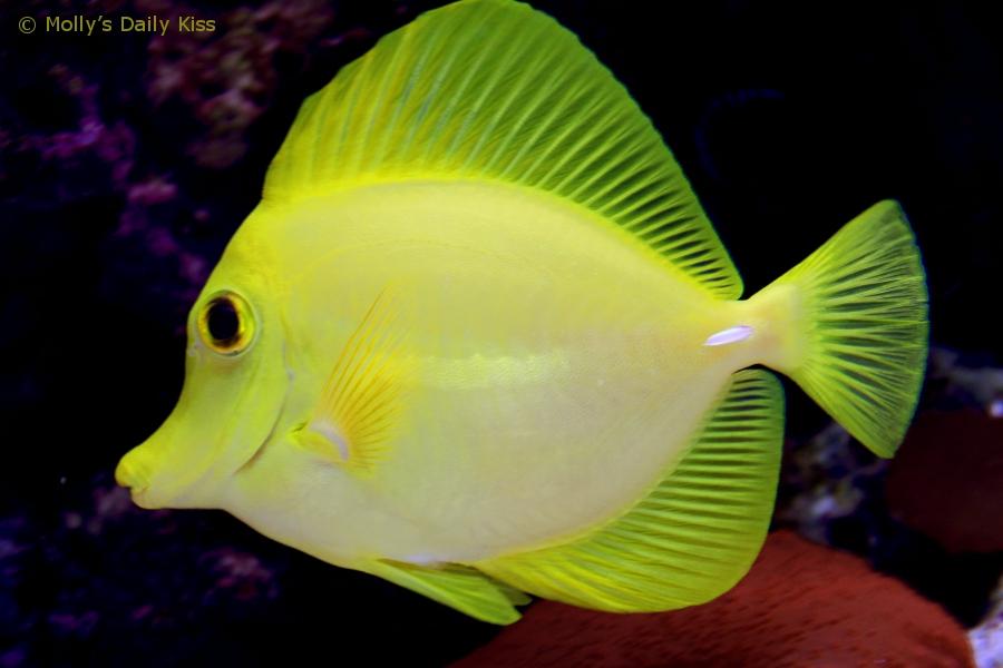 Yellow seafish in tank