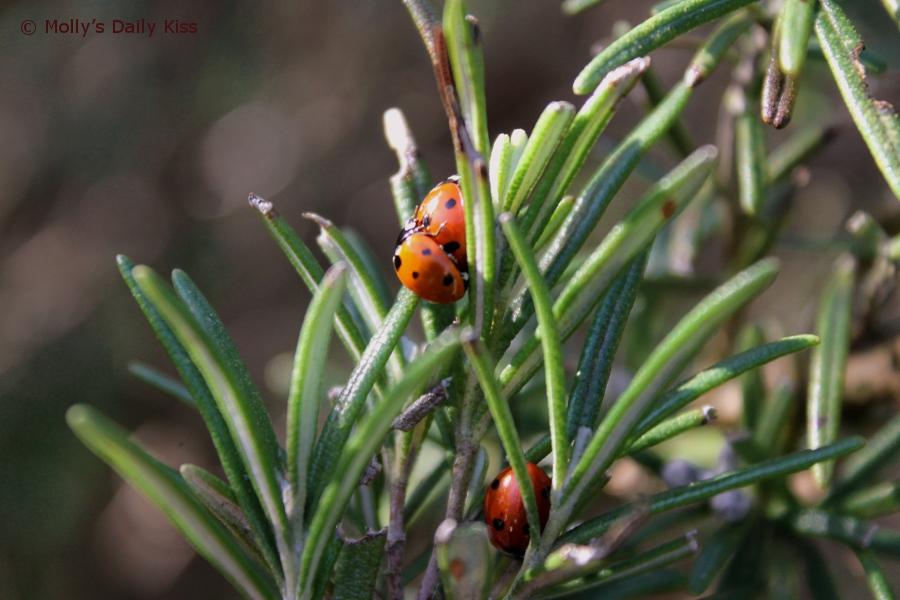 ladybird 3some