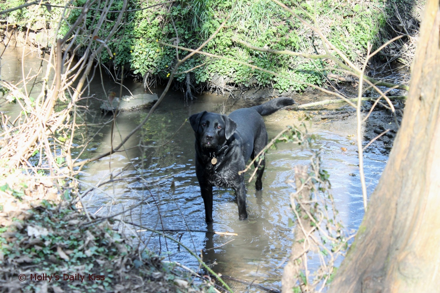 Black labrador in water