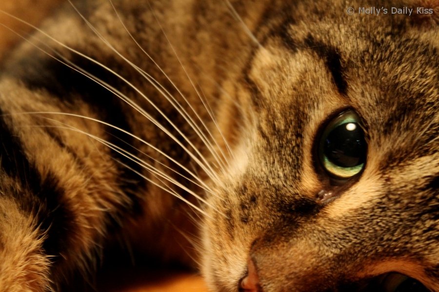 macro shot of cats eye and whiskers