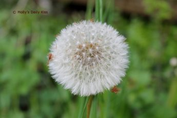 Dandilion clocks