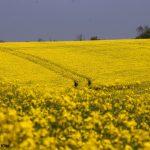 Bright yellow rapeseed crop field