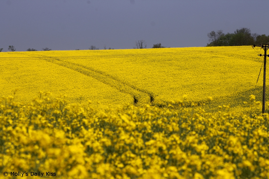 Bright yellow rapeseed crop field