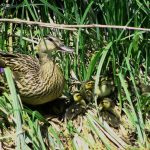 mother duck and ducklings