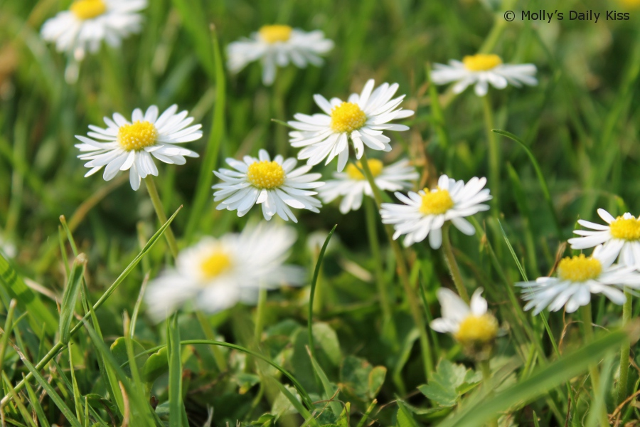 macro shot of daisies in the grass