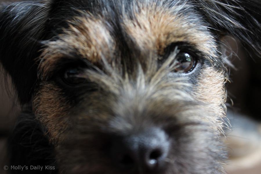 Close up of a border terrier