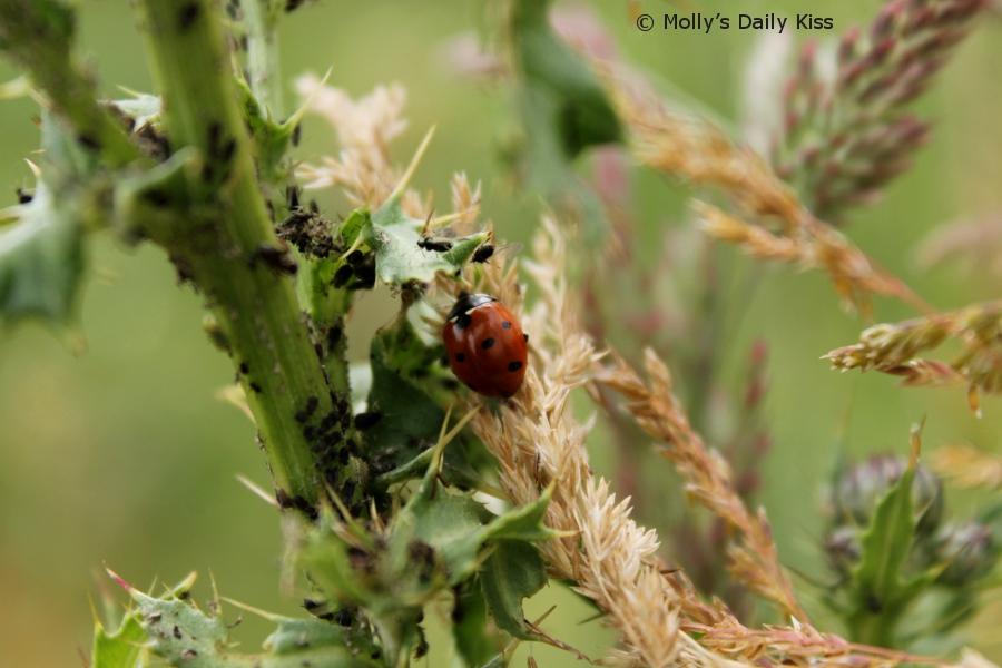 Ladybird feast