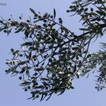 Olives on the olive tree with bright blue sky background