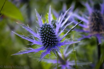 Close up shot of a blue thistle