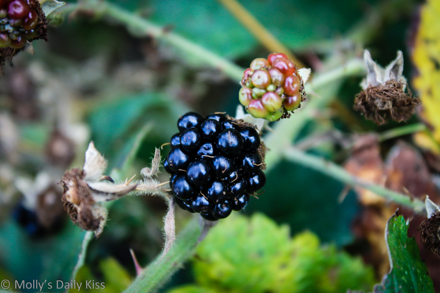 Blackberry in the hedgerow