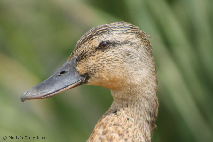 Close up shot of a duck eye