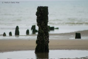 wooden groyne covered in seaweed on Pett Level