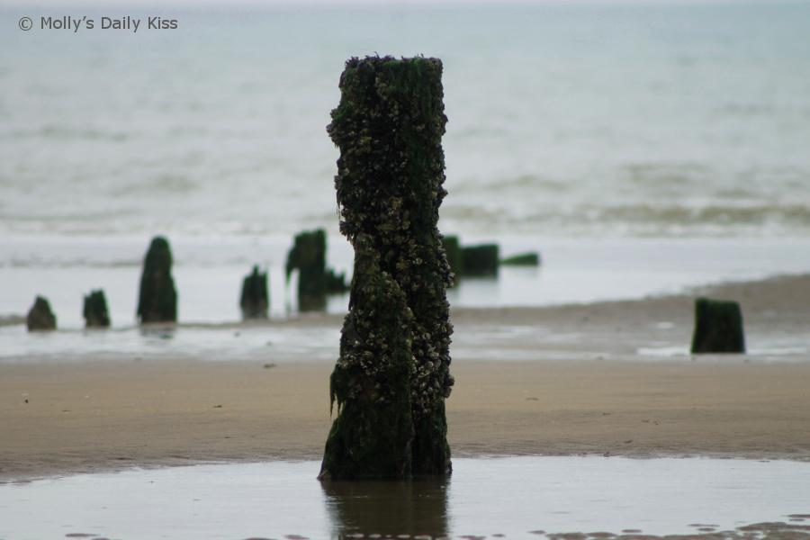 wooden groyne covered in seaweed on Pett Level