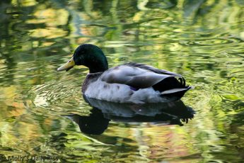 Reflection of duck in Stanborough Lakes