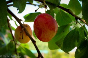 Plum hanging in tree