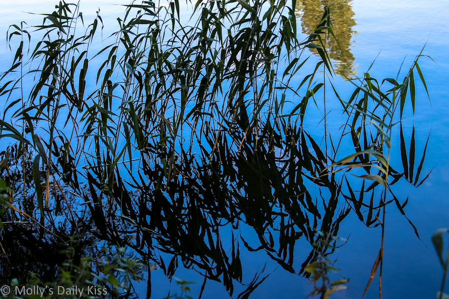 Reflection of reeds in blue water - Stanborough Lakes