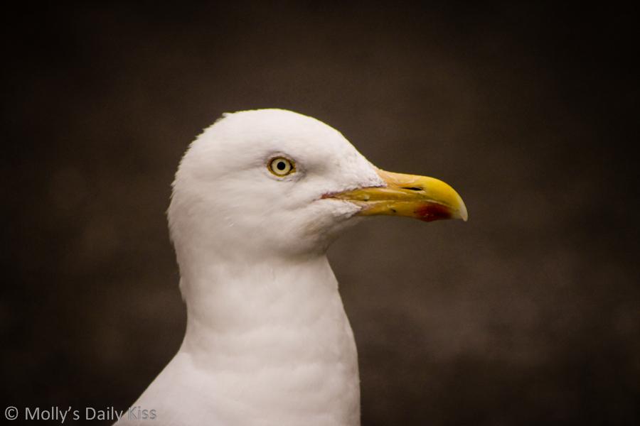 Close up shot of a sea gull
