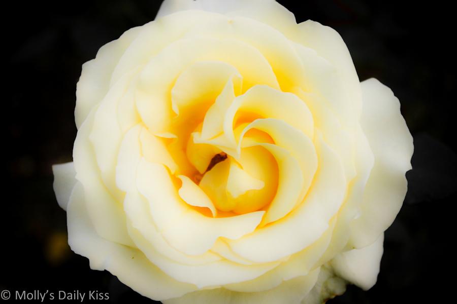 lemon coloured rose