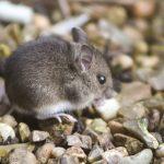 A little field mouse