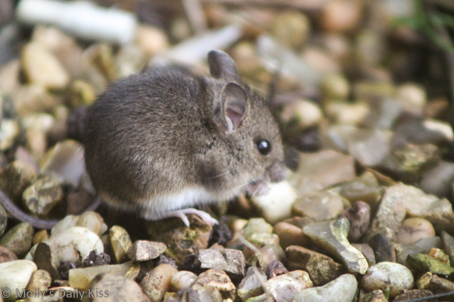 A little field mouse