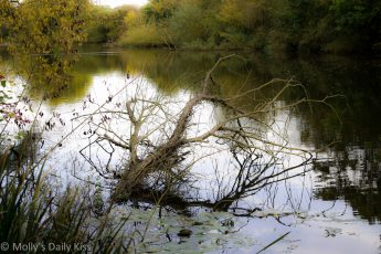 Dead tree reflected in the pond