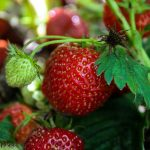 Macro shot of strawberries
