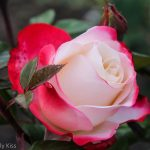 Blush pink red rose bloom