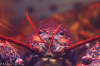 Macro shot of a live lobster
