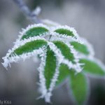 Frost on green leaves
