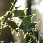 Ice tinged Holly leaves