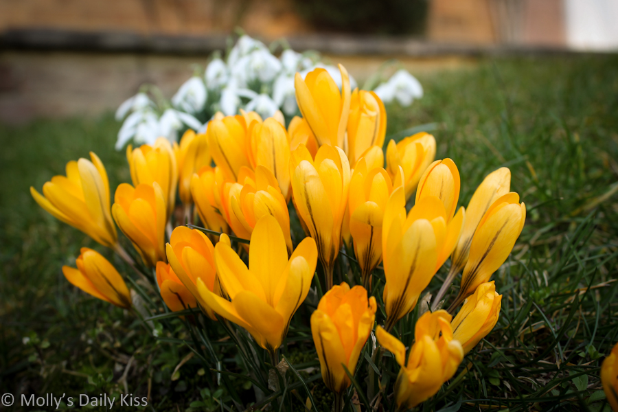 Crocus and Snowdrops spring flowers