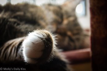 Macro shot of cat paw with sleeping cat in background