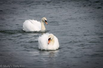 2 swans on the River Thames at Henley