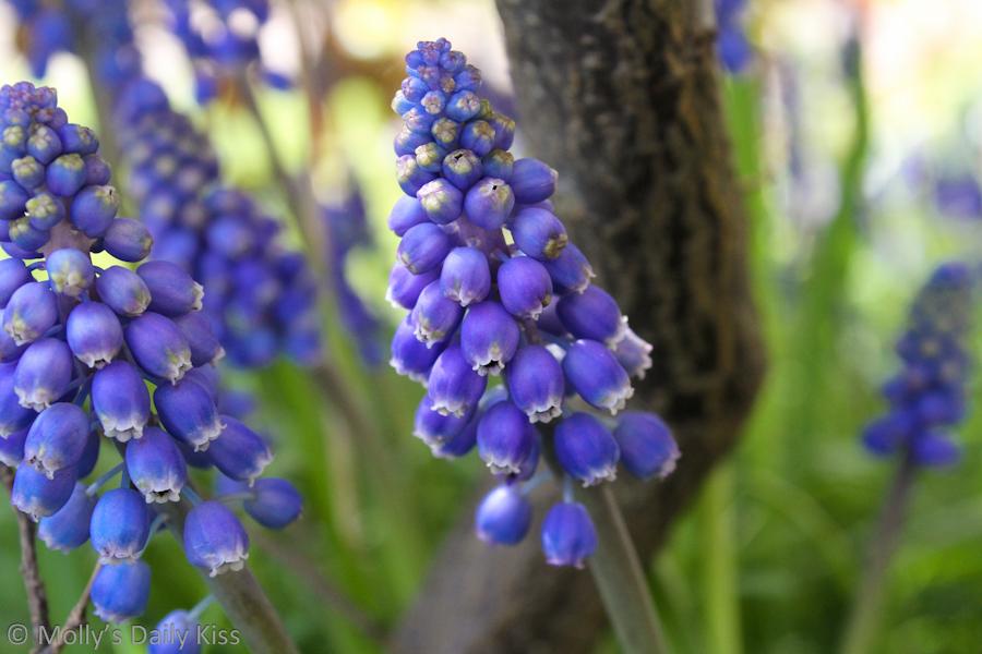 Blue Grape Hyachinth