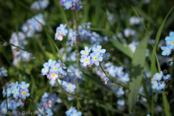 forget-me-not field