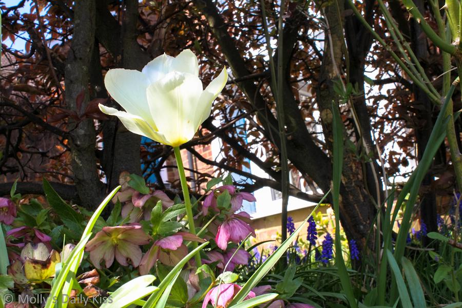 Spring garden with white tulips