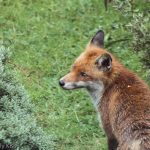 Wild fox in Welwyn Garden City