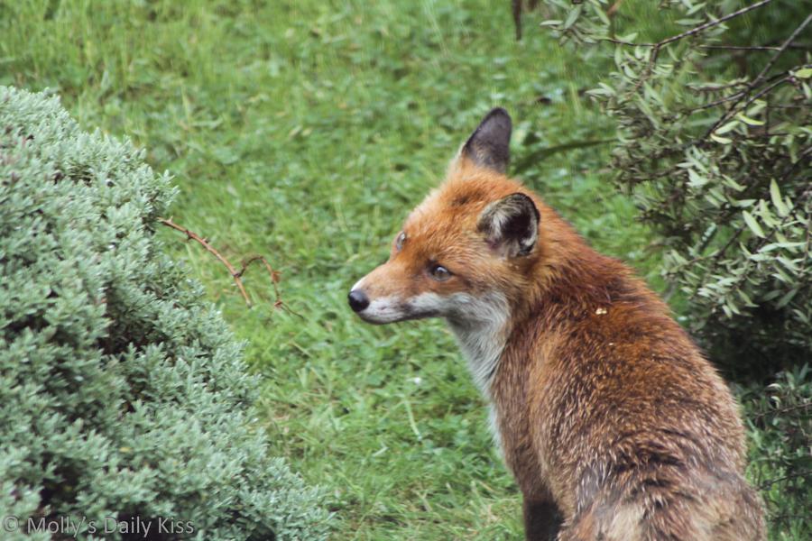 Wild fox in Welwyn Garden City