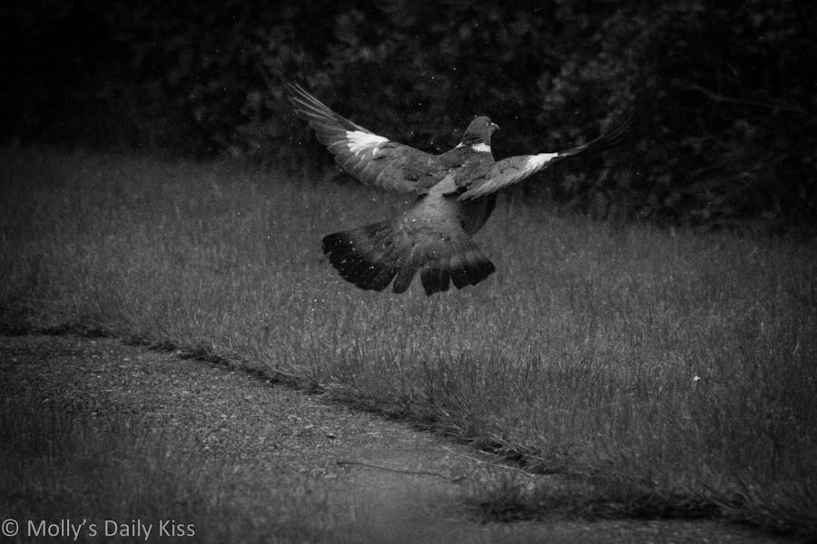 Pigeon taking flight black and white