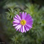Purple daisy macro shot