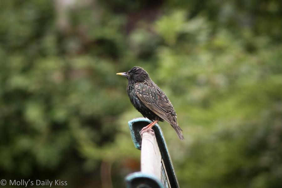 Male Starling bird