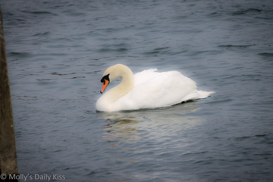 Beautiful swan on the Thames