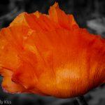 red poppy in full bloom