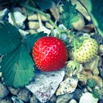 One red strawberry