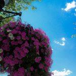 Blue sky over street flowers in Pottstown