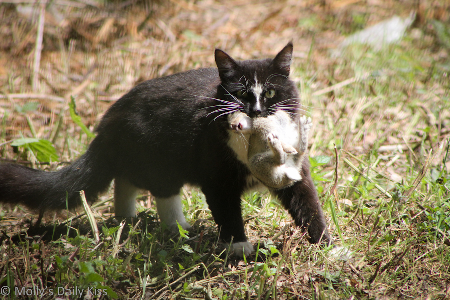 Cat hunting with baby rabbit in its mouth