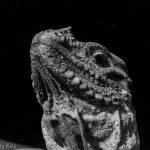 Iguana lizard black and white photography