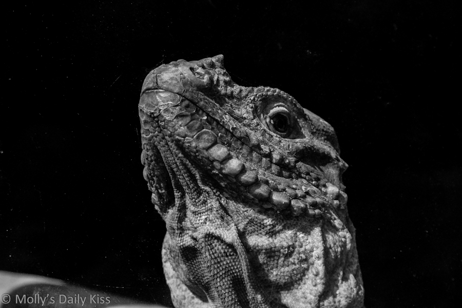 Iguana lizard black and white photography