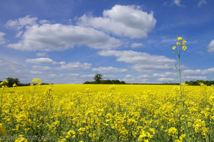 Rape seed field with blue sky