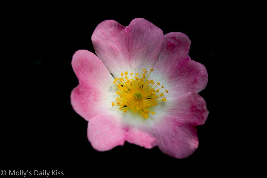 Wild Rose macr shot
